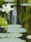The Lotus pond, Pamplemousses Botanical Gardens