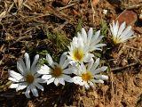 Gazania krebsiana, Asteraceae
