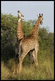 Giraffe stand-off