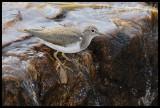 Common sandpiper (Tringa hypoleucos)