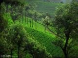 Tea fields, Munnar, Kerala, India