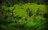 Rice fields, Bali, Indonesia