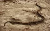 Baby python, Perhentian, Malaysia