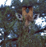 Giraffe in Tarangire, Tanzania