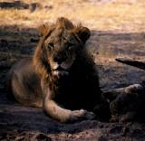 Savuti lion, Botswana
