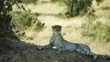 Kalahari cheeta, Botswana