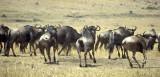 Wildebeests in Serengeti, Tanzania