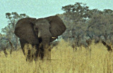 Elephant, Mahango, Namibia