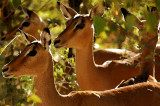 Impala, Moremi, Botswana