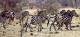 Zebra, Khaudom, Namibia