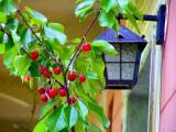 lamp and cherry.jpg