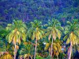 Four palm trees in S. Lucia