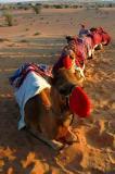 Dubai desert, camels