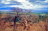 Baobab trees overlooking the Rift Valley, Ngorongoro Crater, Tanzania