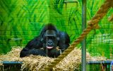 Lonely gorilla at the London zoo