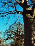 baobab2.jpg