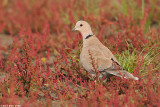 collared dove 9177.jpg