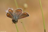 IMG_4817-2jpg.jpg Aricia agestis chahlil ageranyoon