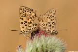 IMG_3537.jpg lycaenidae    Apharitis cilissa