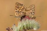 IMG_3532 lycaenidae   Apharitis cilissa