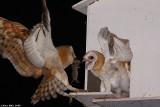 Barn_owl Tyto alba Feeding chick IMG_0419-2.jpg