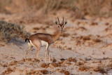 IMG_2269.227Dorcas Gazella gazella