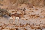 IMG_227Dorcas Gazella gazella