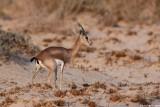IMG_2268.227Dorcas Gazella gazella