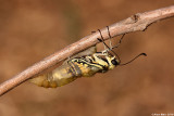 Common Swallowtail,Papilio machaon 9791.jpg