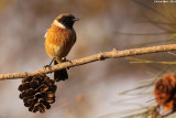 Stonechat -Saxicola dacotiae_2652.jpg