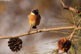 Stonechat -Saxicola dacotiae_2657.jpg