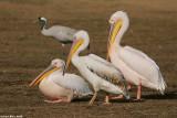 ù÷ðàé1310  white pelican