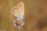 cahlil matzoy÷Polyommatus icarus4839