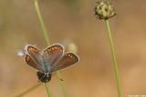Aricia agestis 4827.jpg Aricia agestis chahlil ageranyoon
