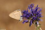 Lampides boeticus4861. cahlil ahafoon