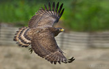 Crested Serpent Eagle_HYIP8190_s.jpg