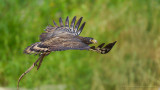 Crested Serpent Eagle_HYIP8338_s.jpg