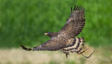 Crested Serpent Eagle_HYIP8332_s.jpg
