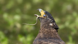 Crested Serpent Eagle_HYIP8174_s.jpg