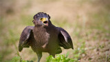 Crested Serpent Eagle_HYIP8238_s.jpg