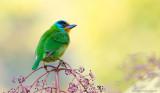 五色鳥_Muller's Barbet_HYIP4973_s.jpg