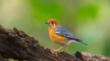 橙頭地鶫_Orange-headed Thrush_HYIP7119_s.jpg