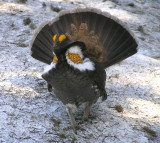 Sooty Grouse charging at me