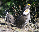 Sooty Grouse (male)