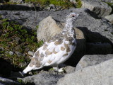 White tailed ptarmigan (male) October