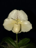 20082281 - Paph. Icy Icy Wind  'Ice Palace' HCC/AOS 75 points