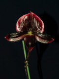 20082292 -  Paph. Hilo Magic Shift  'Syrah-Syrah'  HCC/AOS 78 points