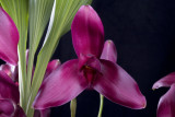 20083176 -  Lycaste Always Melissa 'Inboriboon' AM/AOS 84 points