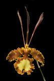 20082992 - Psychopsis Kalihi 'Green Valley' AM/AOS 81 points
