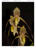 20095483  Paph. Saint Swithins 'Roy Lenz' AM/AOS 85 pts.